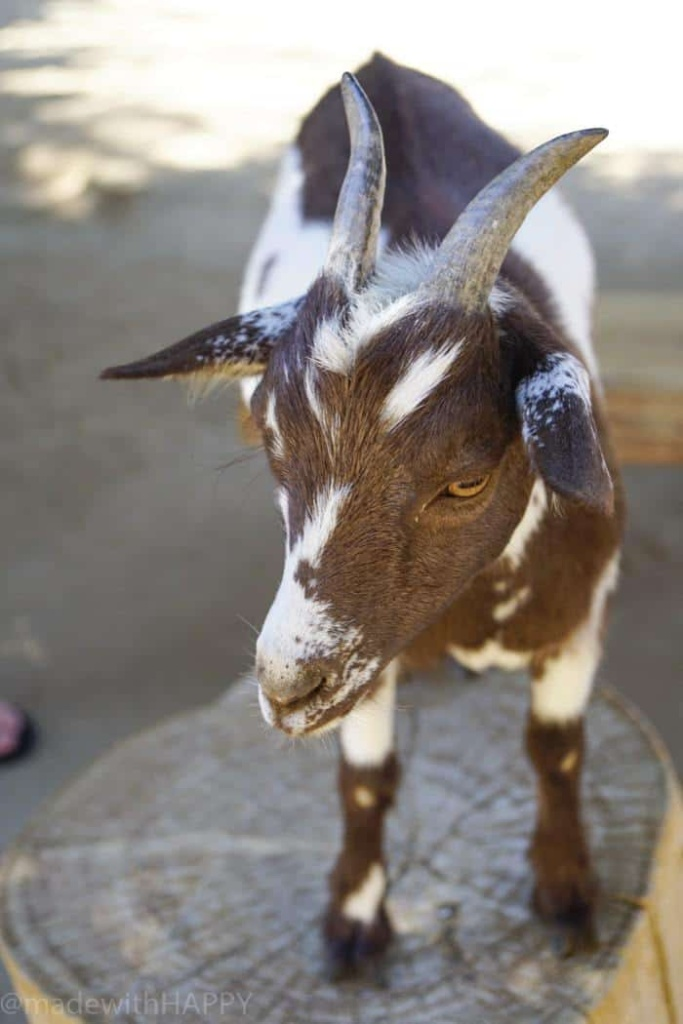 Petting Goats. Visiting the living desert. Things to do in Palm Desert. Family Getaway to the desert. Feeding the Giraffes at the zoo. Zoos of Southern California.