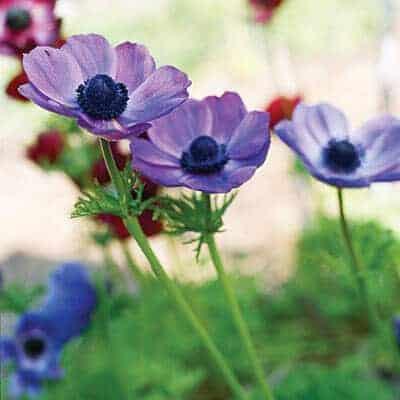 poppy-flowered-anemone-0210-l