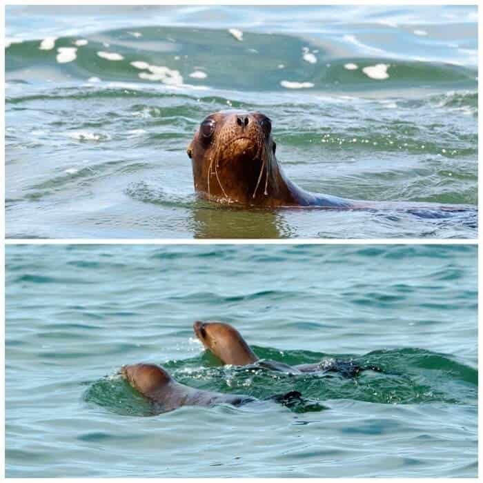 released-sea-lions