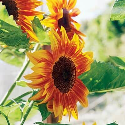 sunflowers-0210-l